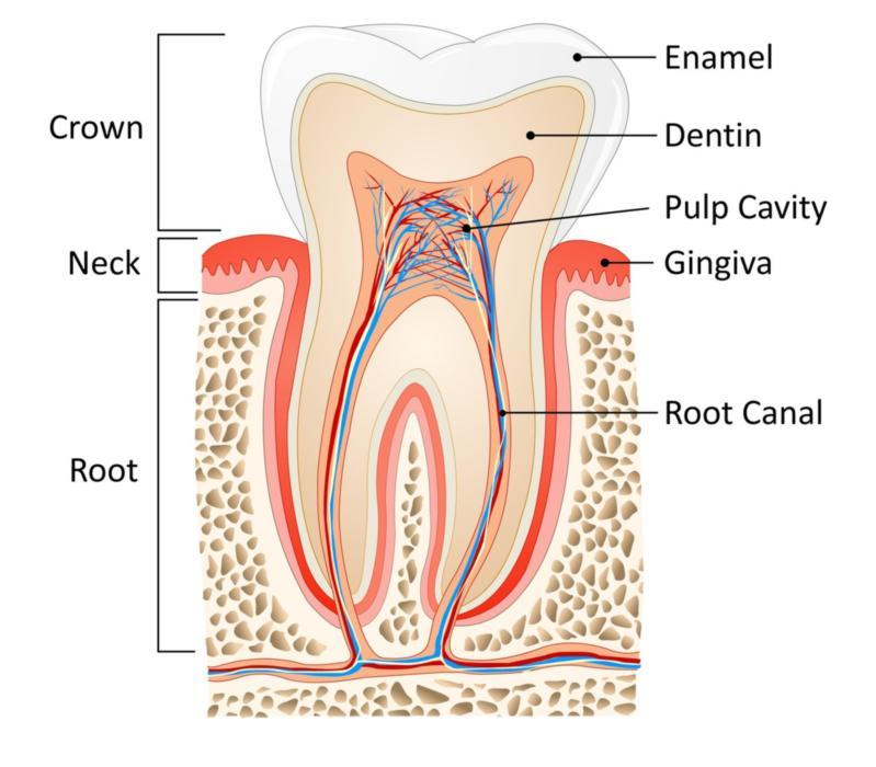 Diagram of tooth showing root canal | Dentist Edmonton AB
